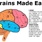 Brain ext illus labeled xlnt