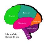 Brain lobes illust laleled