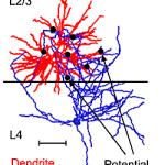 Dendrites & axons micro-pic