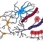 Glial cells 4 types illust