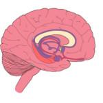 Medial Brain View