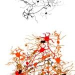 Neuron clusters simple vs complex