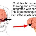 Orbitofrontal illus labeled